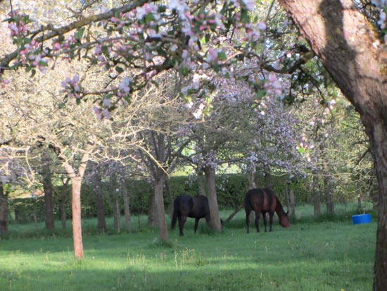 horses in orchard